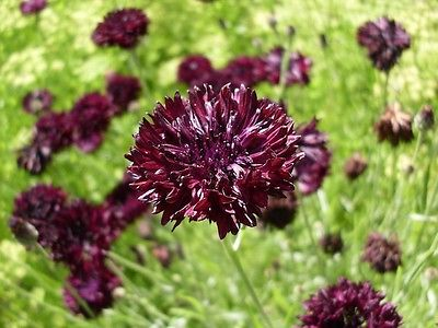Bachelor Button Seeds - BLACK BALL -  2