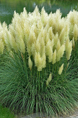 Ornamental Grass Seeds - WHITE FEATHER PAMPAS - Fast Growing Perennial- 20 Seeds