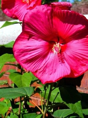 Hardy Hibiscus Seeds - FANTASIA - Winter Hardy Flowering Perennial - 10 Seeds