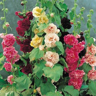 Hollyhock Seeds - SUMMER CARNIVAL MIX - Great for Child's Gardening - 25 Seeds