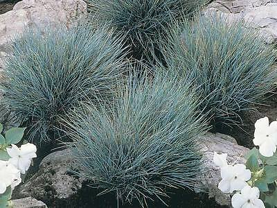 Ornamental Grass Seeds - BLUE FESCUE - Colorful - theseedhouse - 20 Seeds