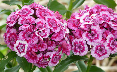 Sweet William Seeds - PINK ONLY - Dianthus Barbatus - Reseeds -  25 Seeds