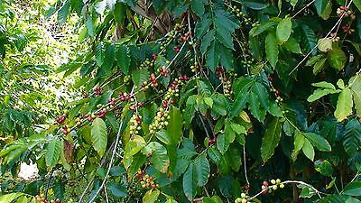 Coffee Bean Plant Seeds - BRAZILIAN PEABERRY - Tropical Coffee Plant - 50 Seeds