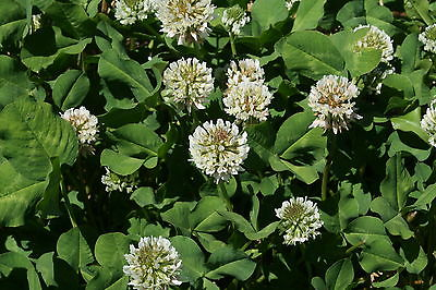 White Dutch Clover Seeds - Low Growing Perennial Clover - Organic - 2000+ Seeds