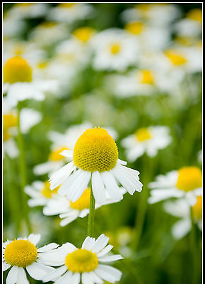 German Chamomile (Matricaria recutita)-Bushy Perennial- theseedhouse- 100+ Seeds
