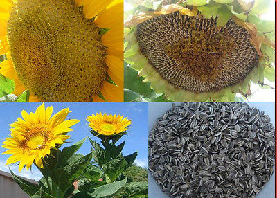 Sunflower Seeds - GIANT MAMMOTH - Great Choice for Child's Garden - 25+ Seeds