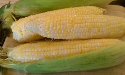 Sweetcorn ~ Peaches and Cream ~ Bicolor Kernels ~ Great Tasting Too! ~ 200 seeds