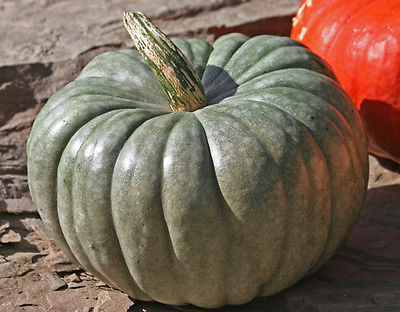 Pumpkin Seeds - JARRAHDALE-Striking Grey-Turquoise Pumpkins- 10 Heirloom Seeds