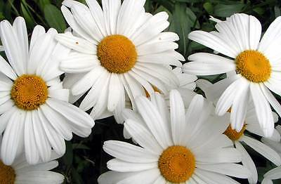 Shasta Daisy - Silver Princess - Long Lasting Blooms - Easy to Grow - 50+ Seeds