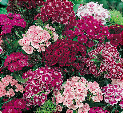 Sweet William Seeds - DOUBLE MIXED - Canadian Flowering Heirloom - 50+  Seeds