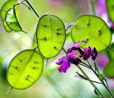 Money Plant Seeds - Lunaria - Honesty Plant - Biennial Wildflower - 25+ Seeds