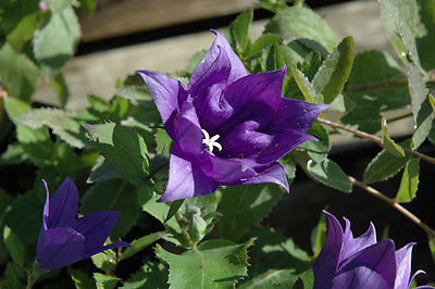 Balloon Flower Seeds - ASTRA SEMI-DOUBLE BLUE - Perennial Dwarf Balloon-10 Seeds