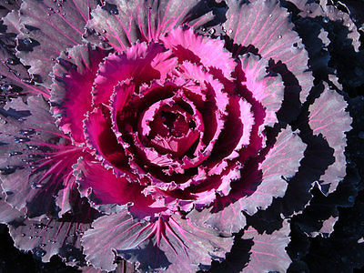 Cabbage Seeds - RED DYNASTY - Red Uniform Leaves, Medium Sized Heads - 50 Seeds