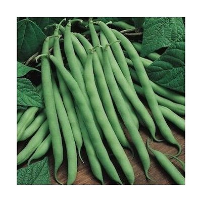 Bean Seeds - BLUE LAKE BUSH - Bush Bean Plant - Heavy Yields - 25 Seeds