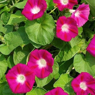 Morning Glory Seeds ~SCARLET O'HARA~ Fast Growing Annual Climbing Vine ~25 Seeds