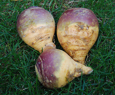 Turnip Seeds - LAURENTIAN GOLD - Rutabaga - Great Winter Storage - 30 Seeds
