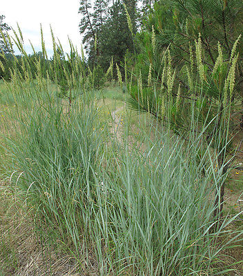 Ornamental Grass Seeds - GREAT BASIN WILDRYE - Leymus Cinereus - 40 Seeds