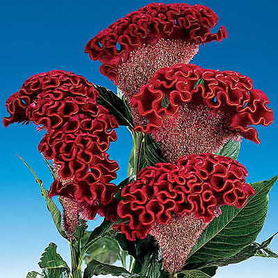 Cockscomb Seeds - BOMBAY DARK RED - Celosia -Heat Tolerant, Sun Loving- 10 Seeds