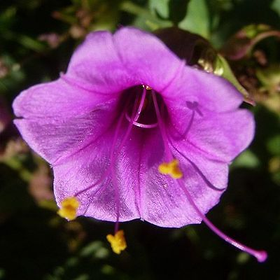 Four O'Clock Seeds ~ Mirabilis Jalapa ~ PURPLE ~ Attract Hummingbirds ~ 15 Seeds