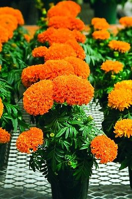 African Marigold Seeds- ANTIGUA ORANGE - Great Border Flower 3