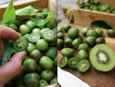 Kiwi Seeds - COCKTAIL MINIATURE -Great Houseplant - Tropical / Exotic - 25 Seeds