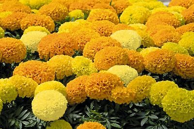 African Marigold Seeds - ANTIGUA MIXED - Great Border Flower 3