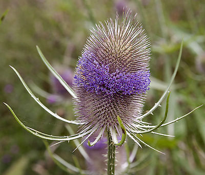 Dipsacus Seeds - Biennial Teasel - Dried Flower Arrangement -MEDICINAL- 30 Seeds