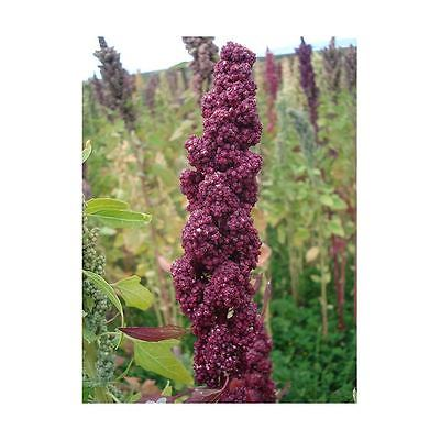 Quinoa Seeds - COLORADO BLACK - Highly Nutritious Grain - Protein - 100+ Seeds