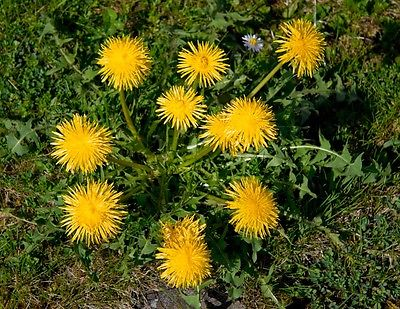 Dandelion - Edible Detoxifying Herb - Salad Greens - GMO FREE - 50 Seeds   :)