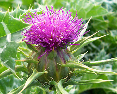 Milk Thistle Seeds - Medicinal Plant - Liver Rebuilding - Edible - 45 Seeds