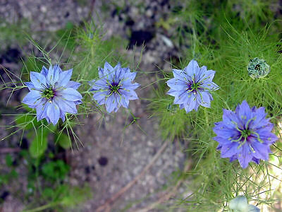 Nigella Sativa Seeds - Health Beneficial Plant - MEDICINAL HEALER - 200+ Seeds