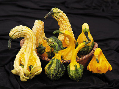 Autumn Wing Gourd Seeds - Warts, Wings, and Curved Necks - Worldwide - 20 Seeds