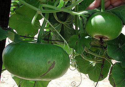 Corsican Gourd Seeds - Easy Drying Instructions Included -100% Organic-10 Seeds