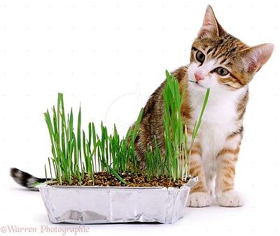 Organic Cat Grass -RYE-Good Natural Nibbling Treat -Feline- 2000+ Seeds   =^..^=