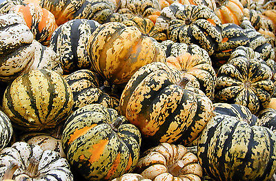 Squash Seeds - CARNIVAL - Organic Hybrid - Grow and Have Some Fun - 10 Seeds  :)