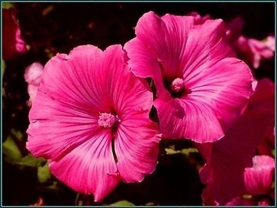 Lavatera Seeds - ROSE MALLOW -