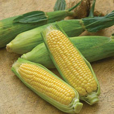 Sweetcorn Seeds - MIRIA MINI - Sweet Tasting Corn - theseedhouse - 1 lb. Seeds