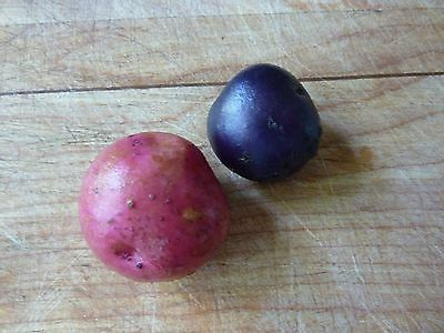 Potato Seed - *Blue & Red* ONLY!!! - Popular Variety Combination - *20 Tubers*
