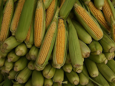 Sweetcorn Seeds - SENECA CHIEF - Canadian - Golden Yellow Kernels - 200+ Seeds