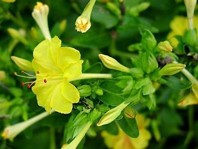 Four O'Clock Seeds ~ Mirabilis Jalapa ~ YELLOW ~ Attract Hummingbirds ~ 15 Seeds