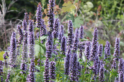 Agastache Seeds - BLACK ADDER - Hummingbird Mint - Anise-Hyssop - 25 Seeds