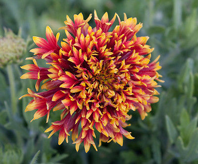 Gaillardia Seeds- CANDY CORN - Blanket Flower - Butterfly Garden - 20 Seeds