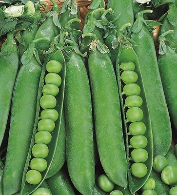 Pea Seeds - MASTERPIECE - Parsley-Like Tendrils, Peas, and Pod Edible - 50 Seeds