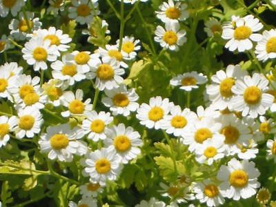 FEVERFEW (Tanacetum Parthenium) Seeds - Traditional Medicinal Herb - 100+ Seeds