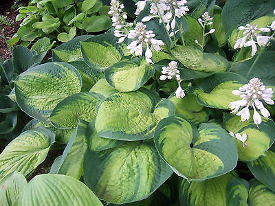 Hosta Plant - PARADIGM - Variegated Foliage - Rabbit Resistant Plant - 2 Shoots