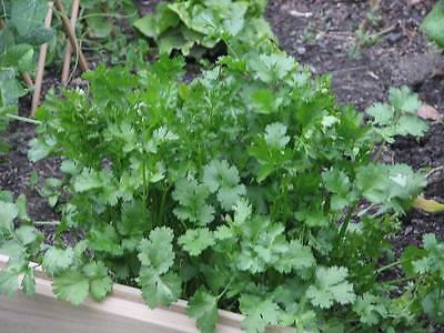 Coriander -  Rich Taste of Caramelised Orange - MEDICINAL - NON GMO - 100 Seeds
