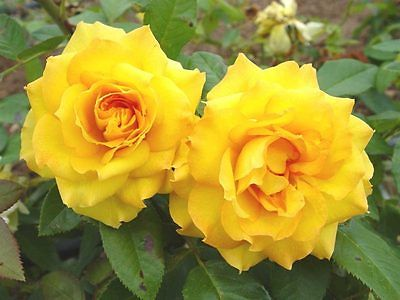 Rose Bush Seeds - ROYAL GOLD ROSA - Climbing Rose Bush - Fragrant - 10 Seeds