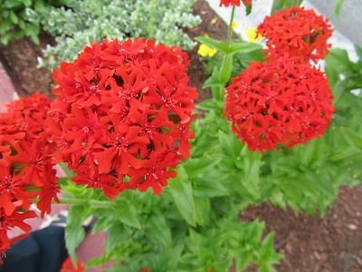 Lychnis Chalcedonica Seeds - BURNING LOVE  - Butterfly Perennial - 50+ Seeds