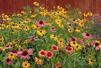 Wildflower Seeds - WII WONDER MIX -  Great for Children's Garden - 500+Seeds