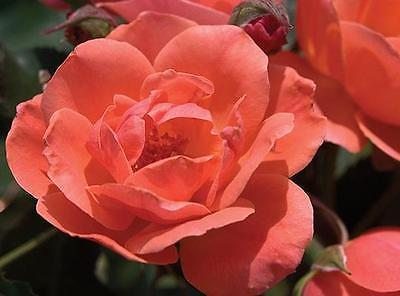 Rose Bush Seeds - Carefree Celebration - Shrub Rose- Disease Resistant- 20 Seeds
